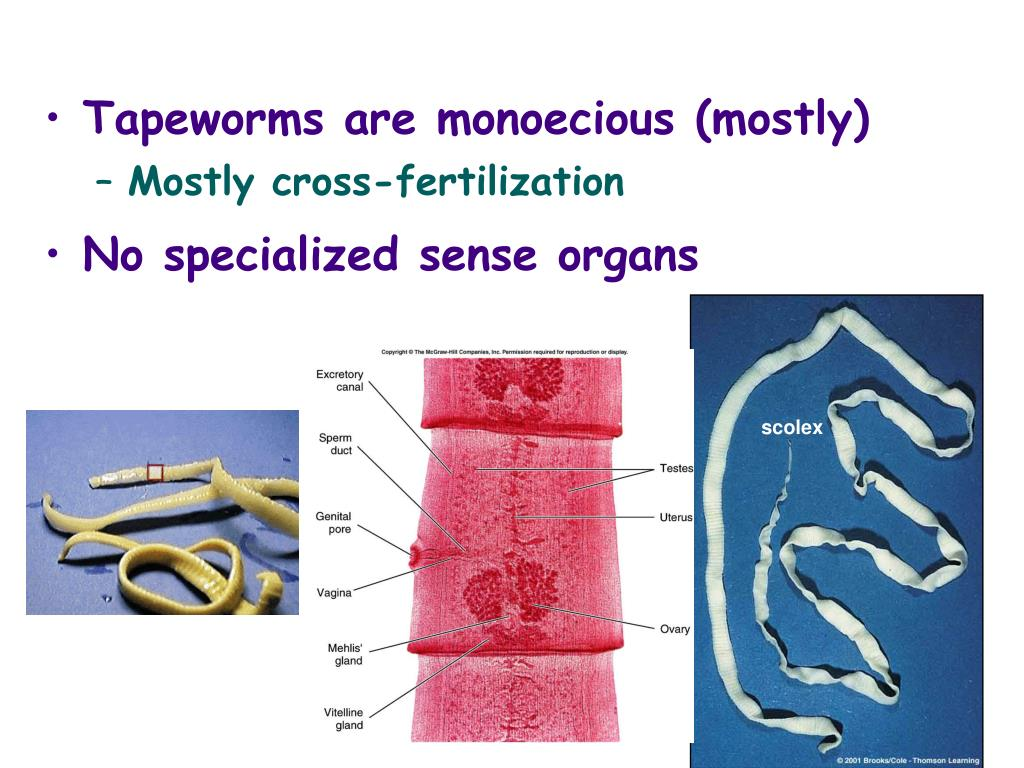 Tapeworms are monoecious (mostly)