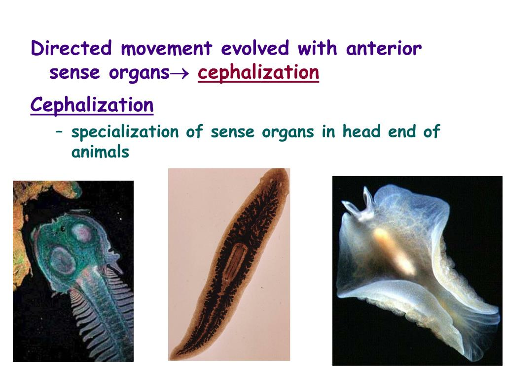 Directed movement evolved with anterior sense organs