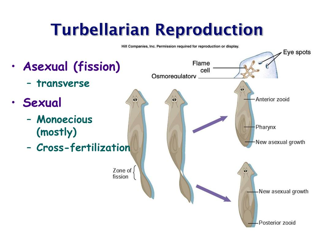 Reproductive and osmoregulatory systems