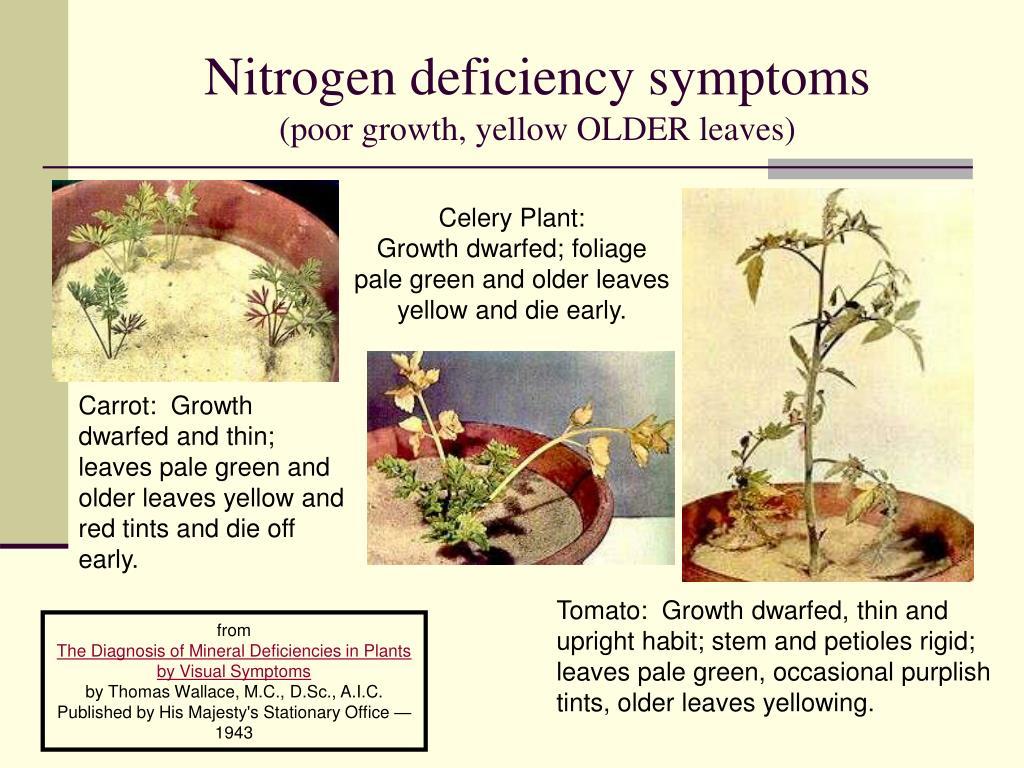 Nitrogen deficiency symptoms