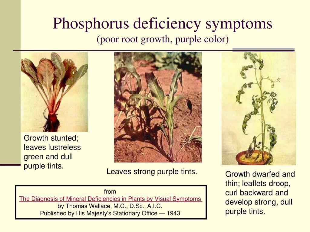 Phosphorus deficiency symptoms