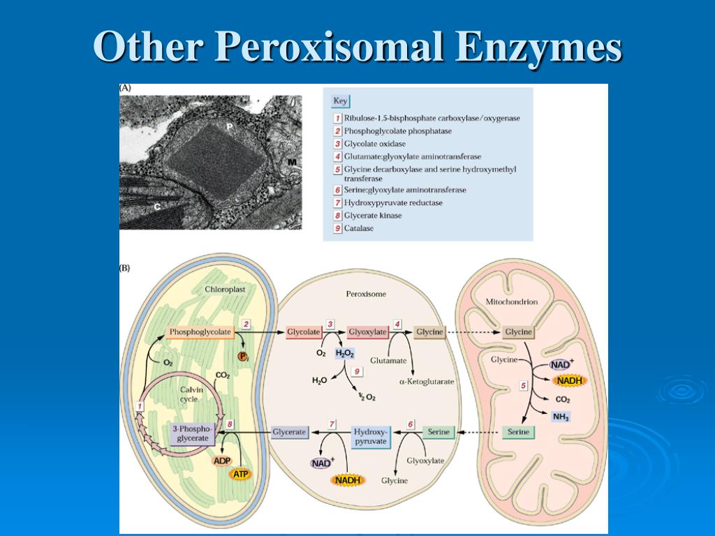 Other Peroxisomal Enzymes