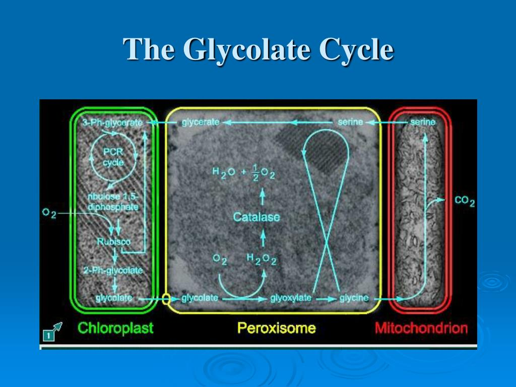 The Glycolate Cycle