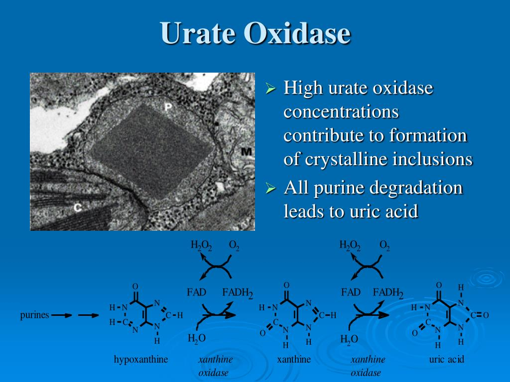 Urate Oxidase