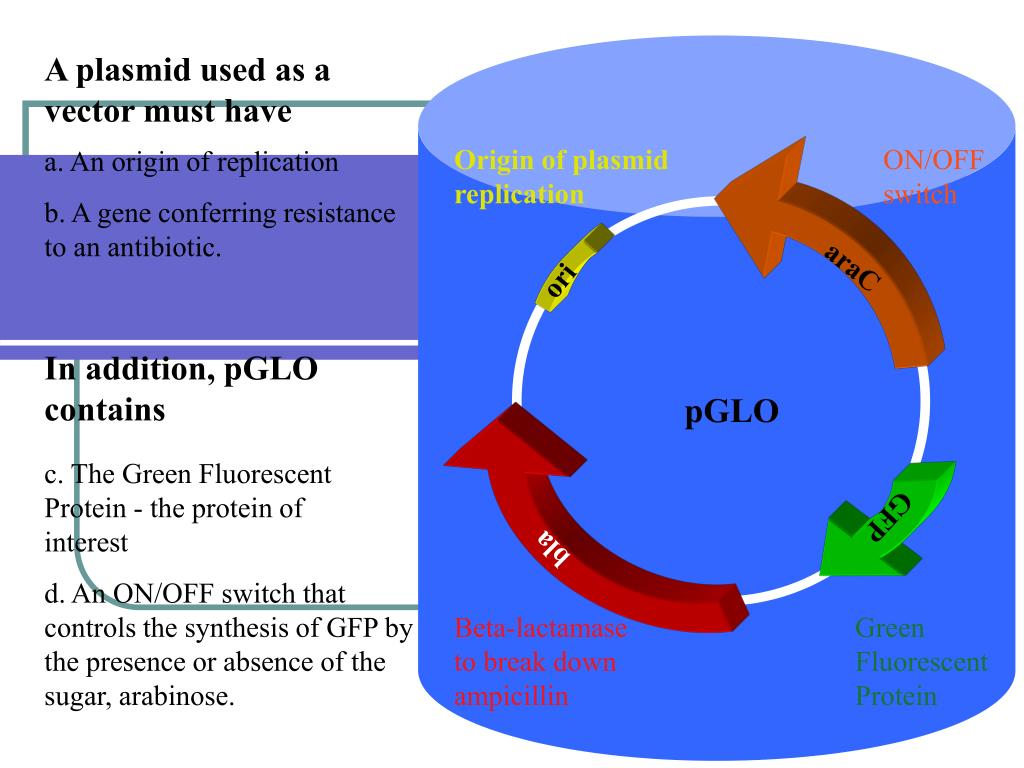 A plasmid used as a vector must have