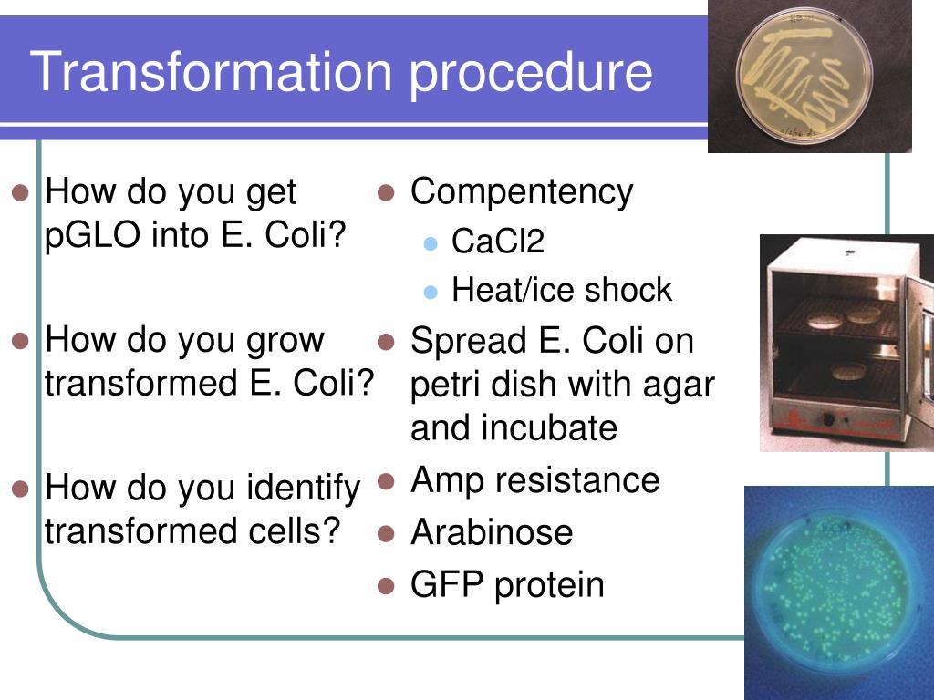 How do you get pGLO into E. Coli?