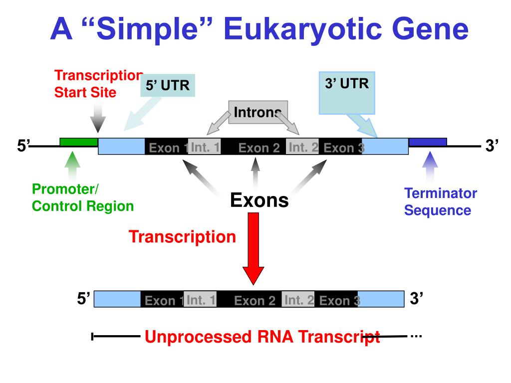 18 lectures ppt for eukaryotic gene Don't show me this again welcome this is one of over 2,200 courses on ocw find materials for this course in the pages linked along the left mit opencourseware is a free & open publication of material from thousands of mit courses, covering the entire mit curriculum no enrollment or registration.
