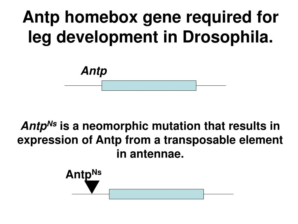 Antp homebox gene required for leg development in Drosophila.