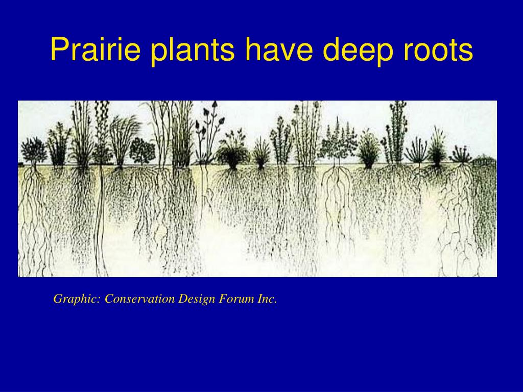 Prairie plants have deep roots