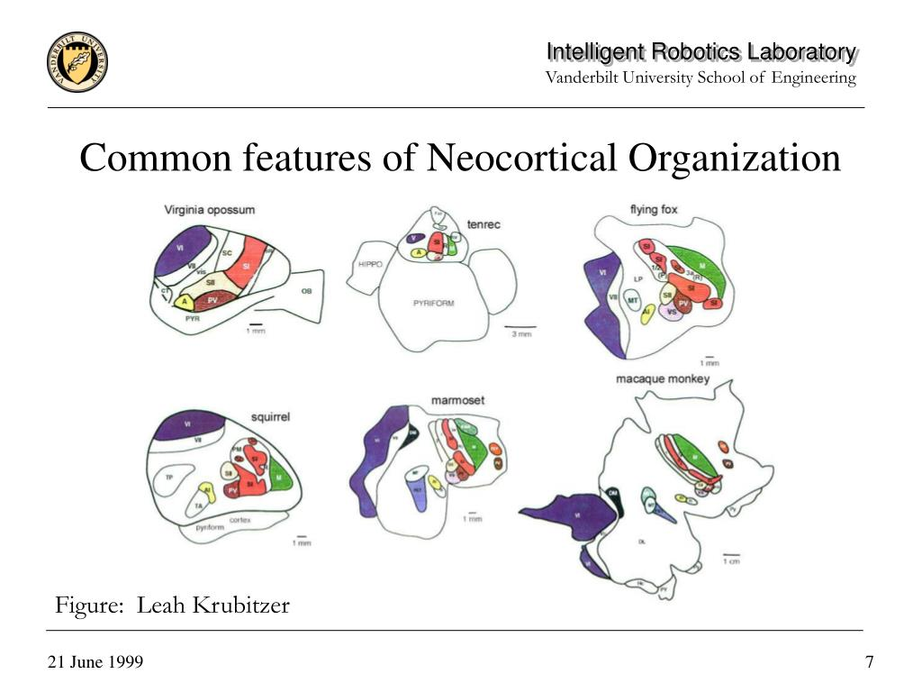 Common features of Neocortical Organization
