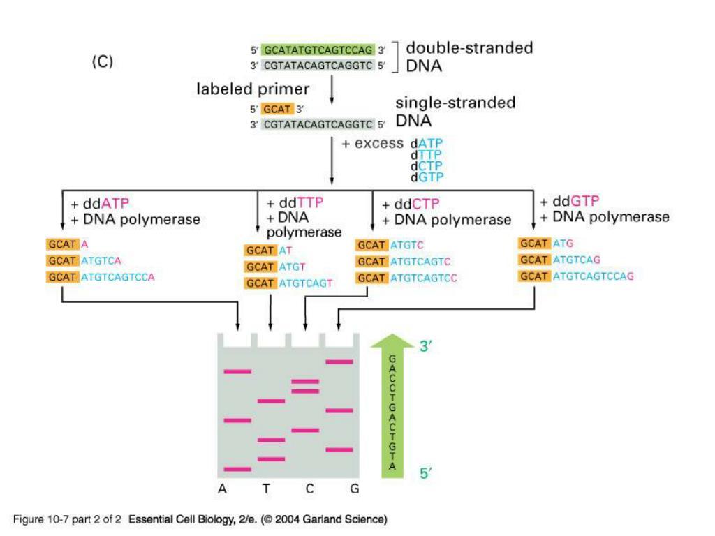 10_07_2_enzym.dideoxy.jpg