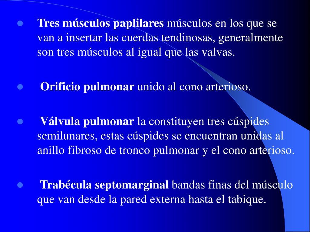 Tres músculos paplilares