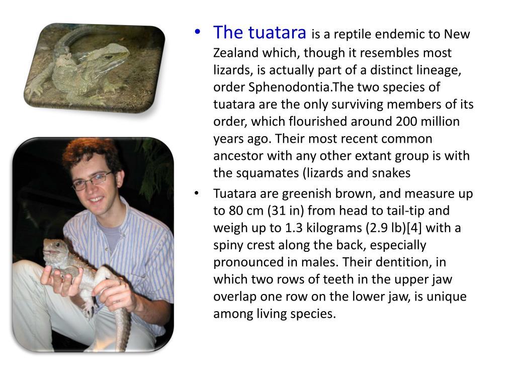The tuatara