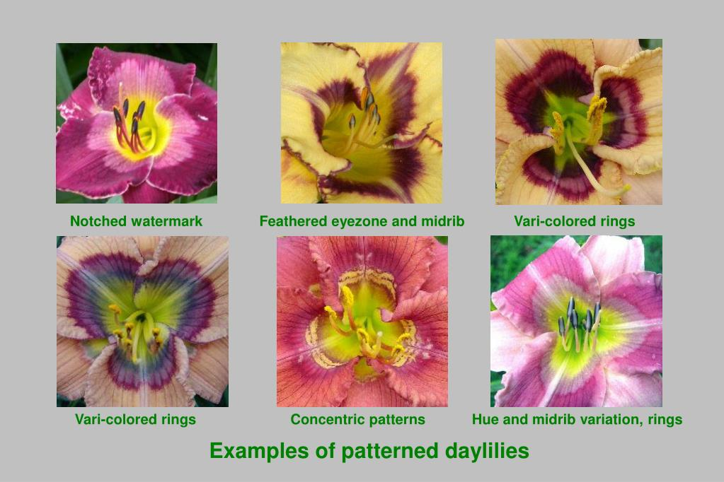 Examples of patterned daylilies