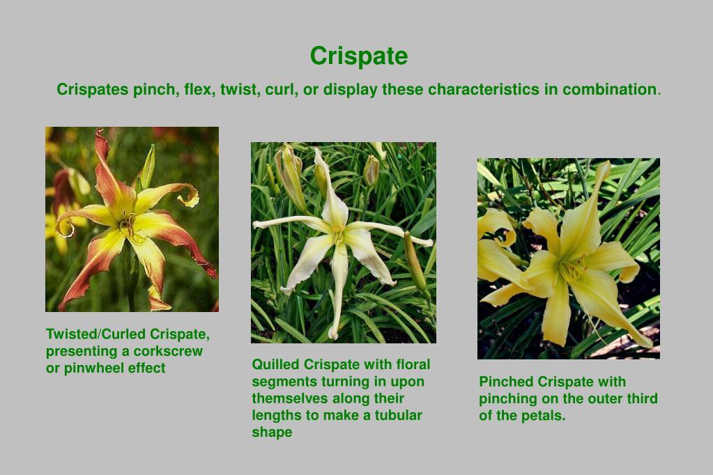 Crispate