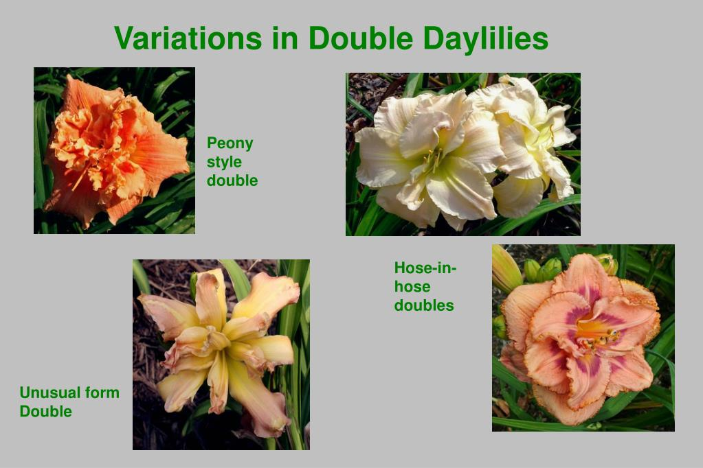 Variations in Double Daylilies