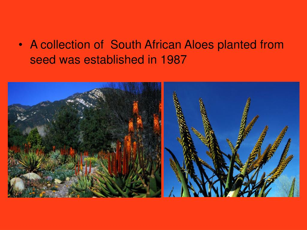 A collection of  South African Aloes planted from seed was established in 1987