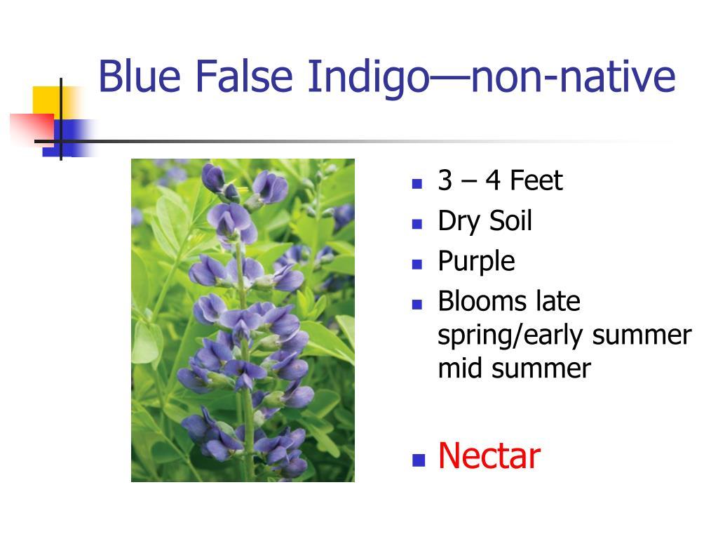 Blue False Indigo—non-native