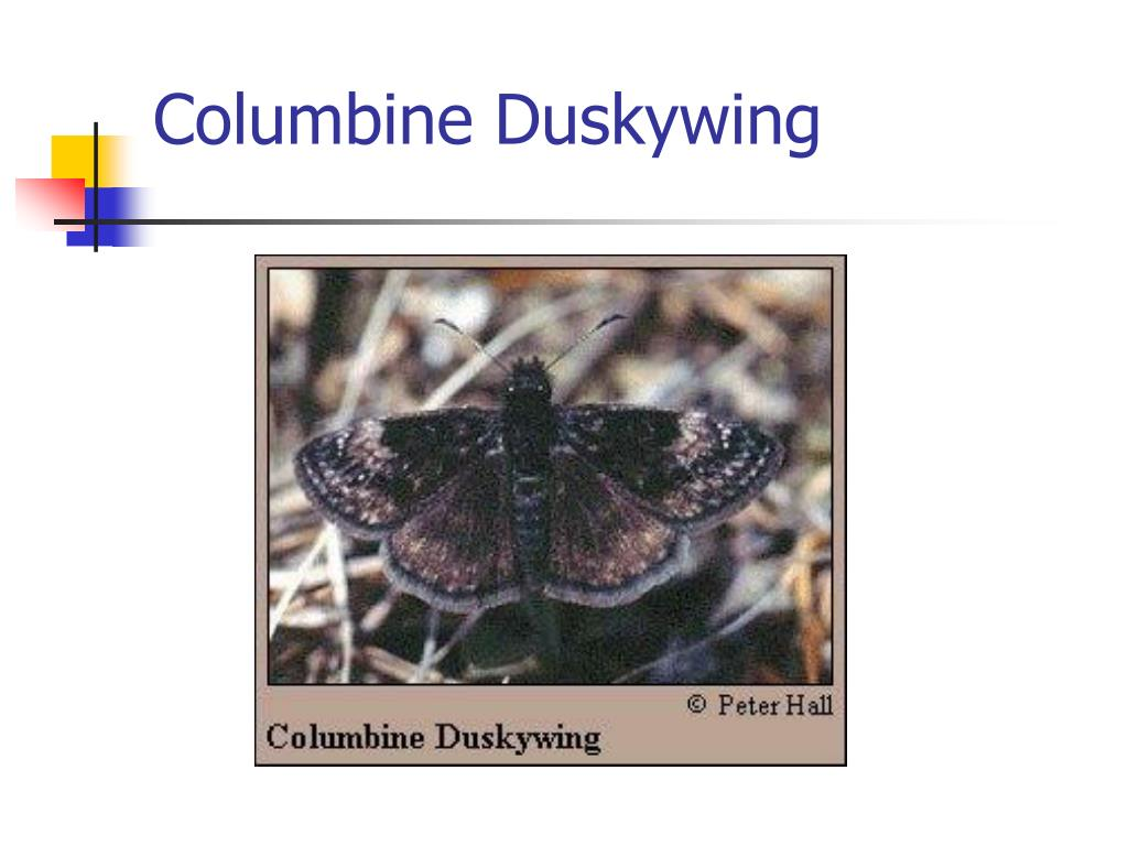 Columbine Duskywing