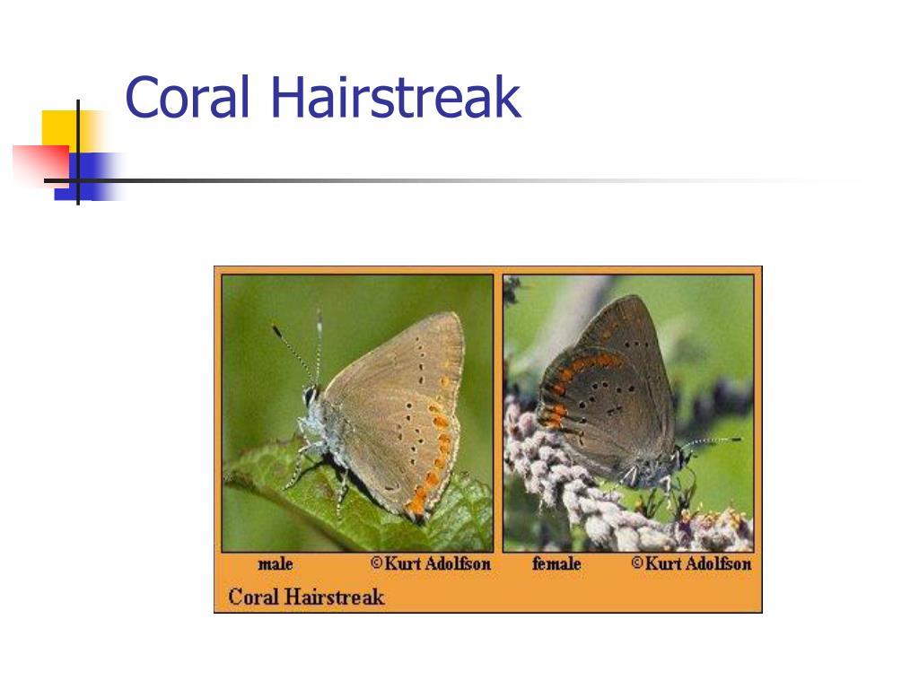 Coral Hairstreak