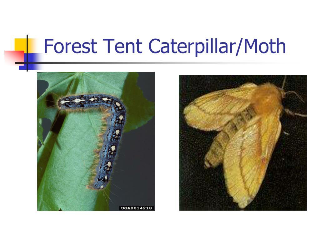 Forest Tent Caterpillar/Moth