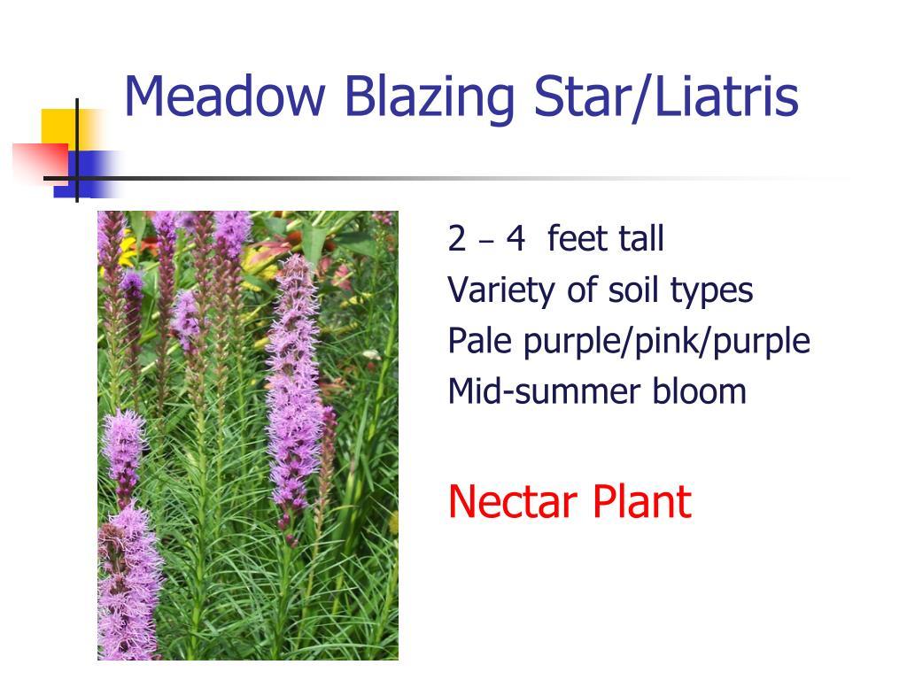 Meadow Blazing Star/Liatris