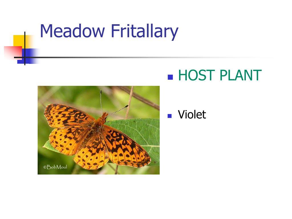 Meadow Fritallary
