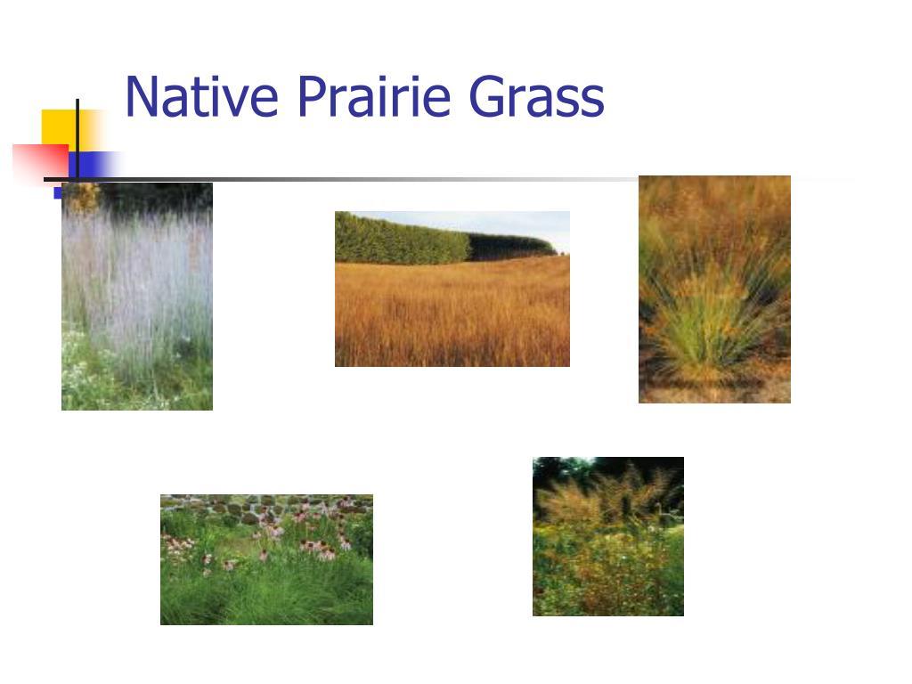 Native Prairie Grass