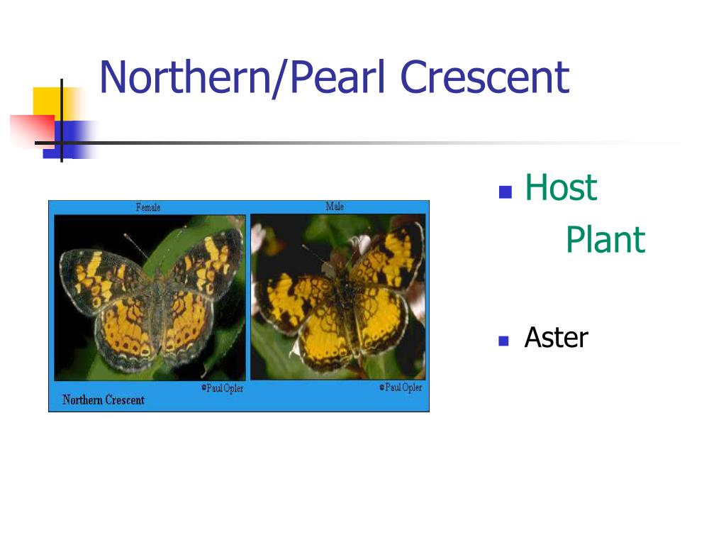 Northern/Pearl Crescent