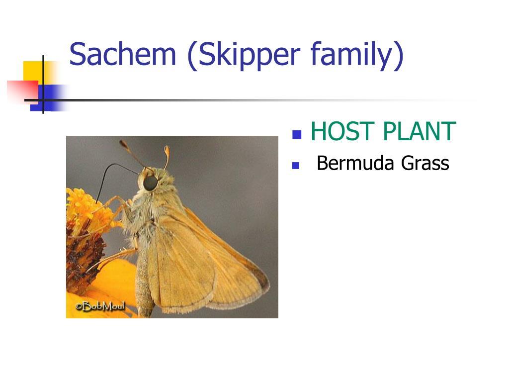Sachem (Skipper family)