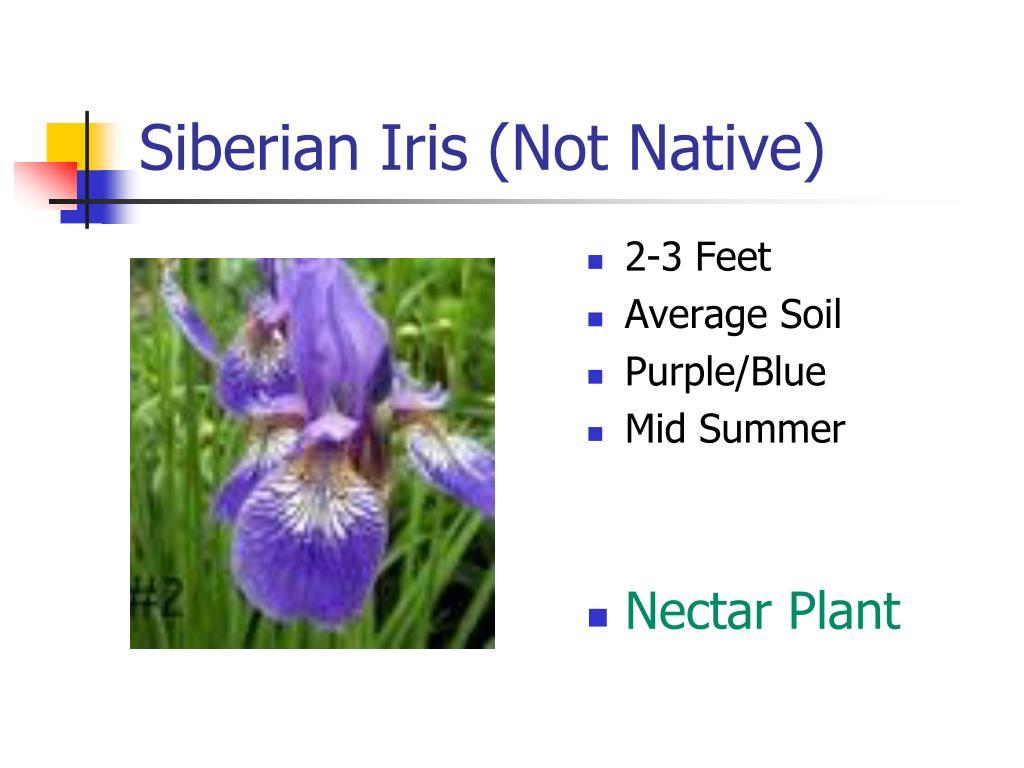 Siberian Iris (Not Native)