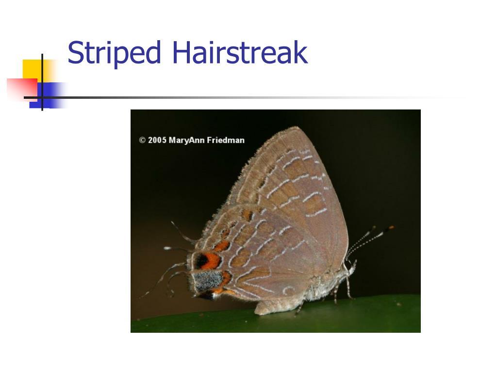 Striped Hairstreak