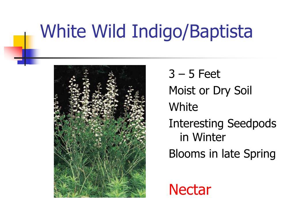 White Wild Indigo/Baptista