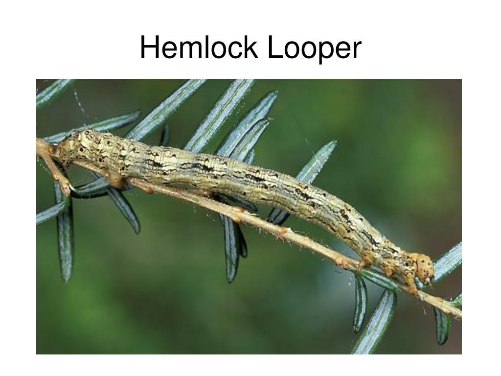 Hemlock Looper