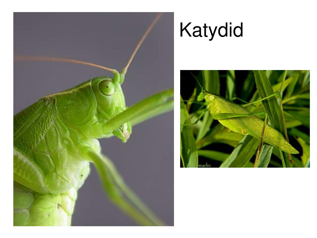 Katydid