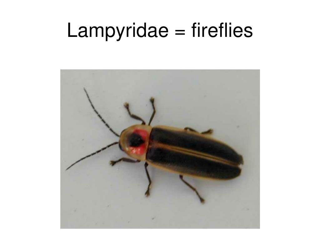 Lampyridae = fireflies