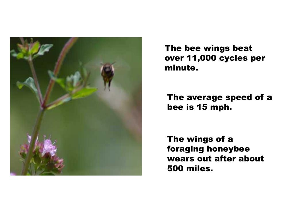 The bee wings beat over 11,000 cycles per minute.