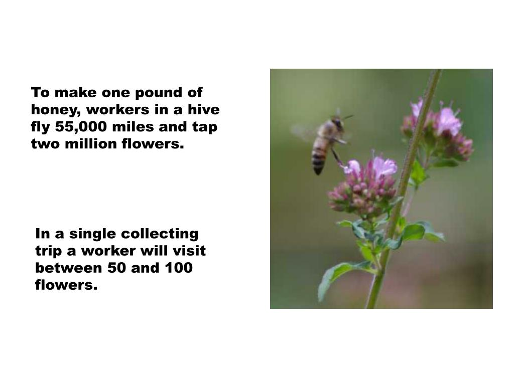 To make one pound of honey, workers in a hive fly 55,000 miles and tap two million flowers.