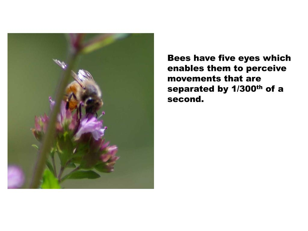 Bees have five eyes which enables them to perceive movements that are separated by 1/300