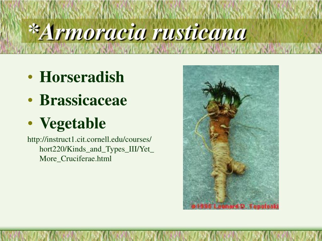 *Armoracia rusticana