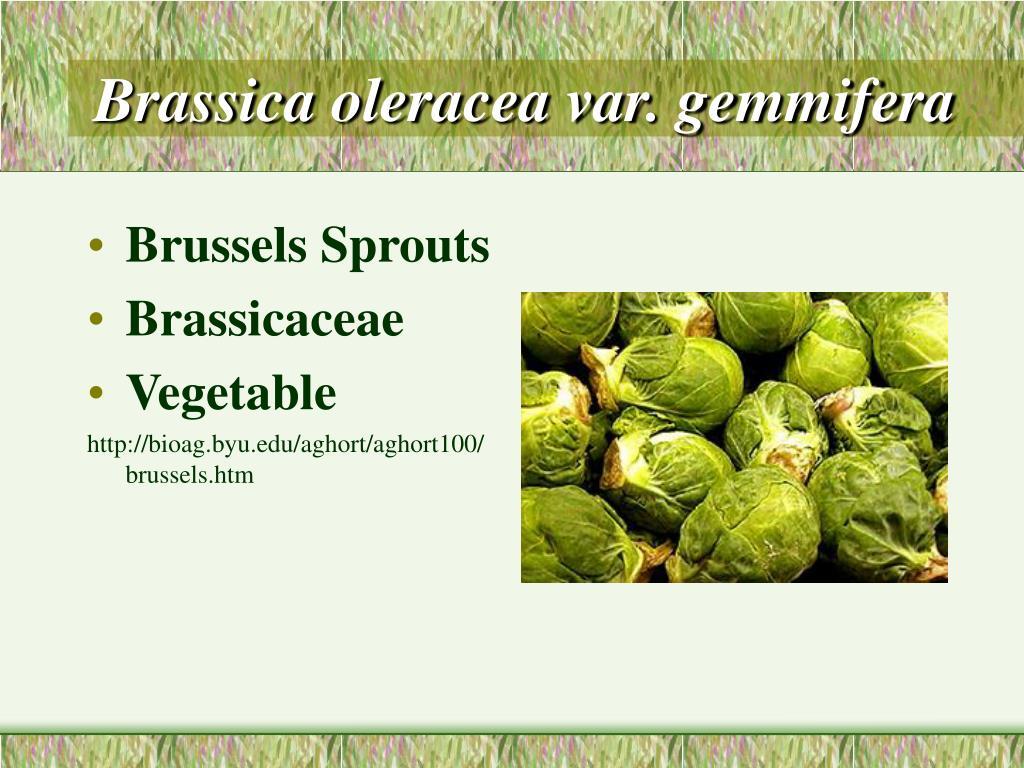 Brassica oleracea var. gemmifera