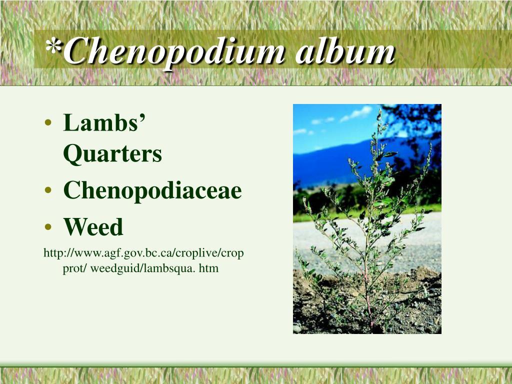 *Chenopodium album