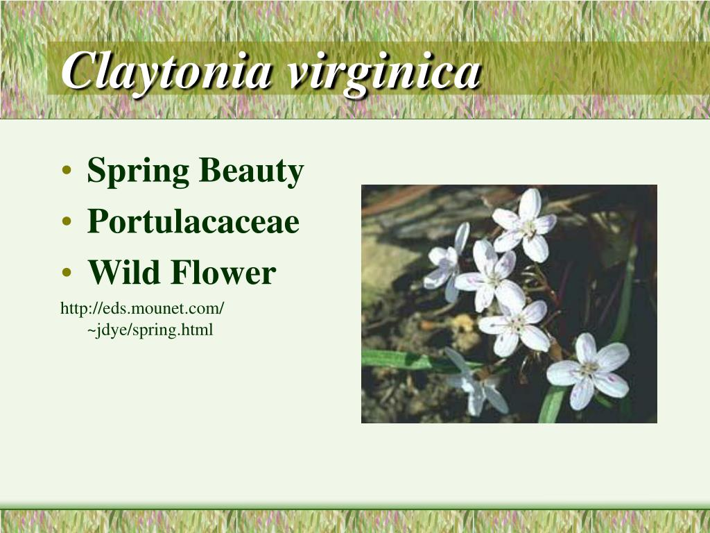 Claytonia virginica