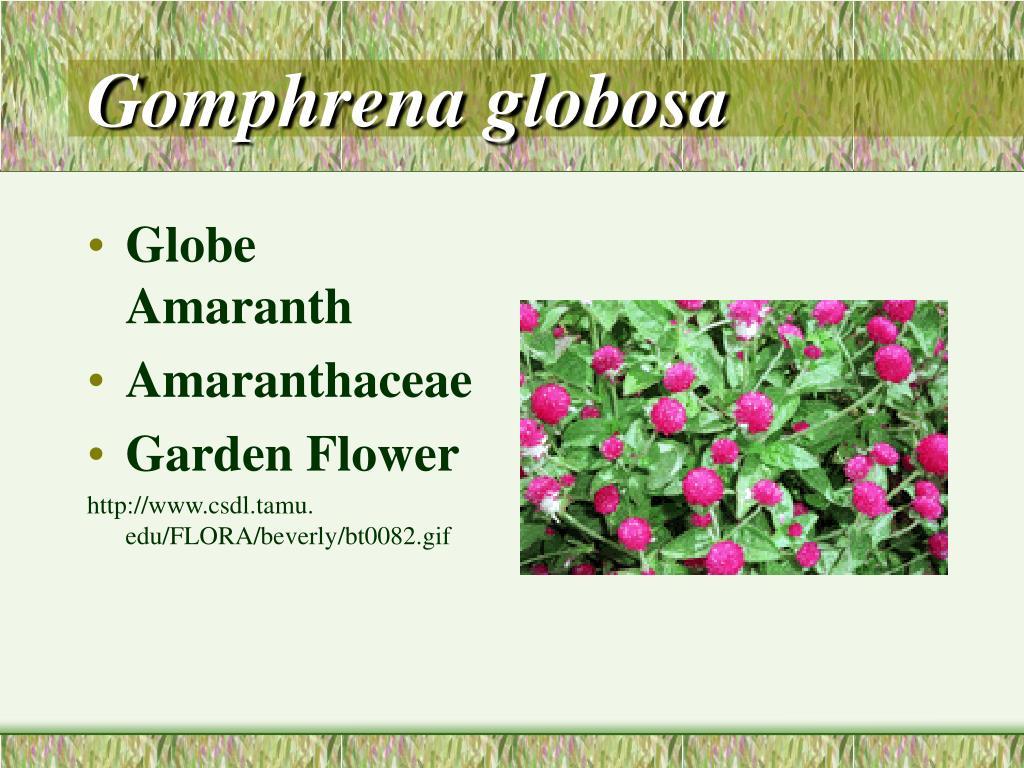 Gomphrena globosa