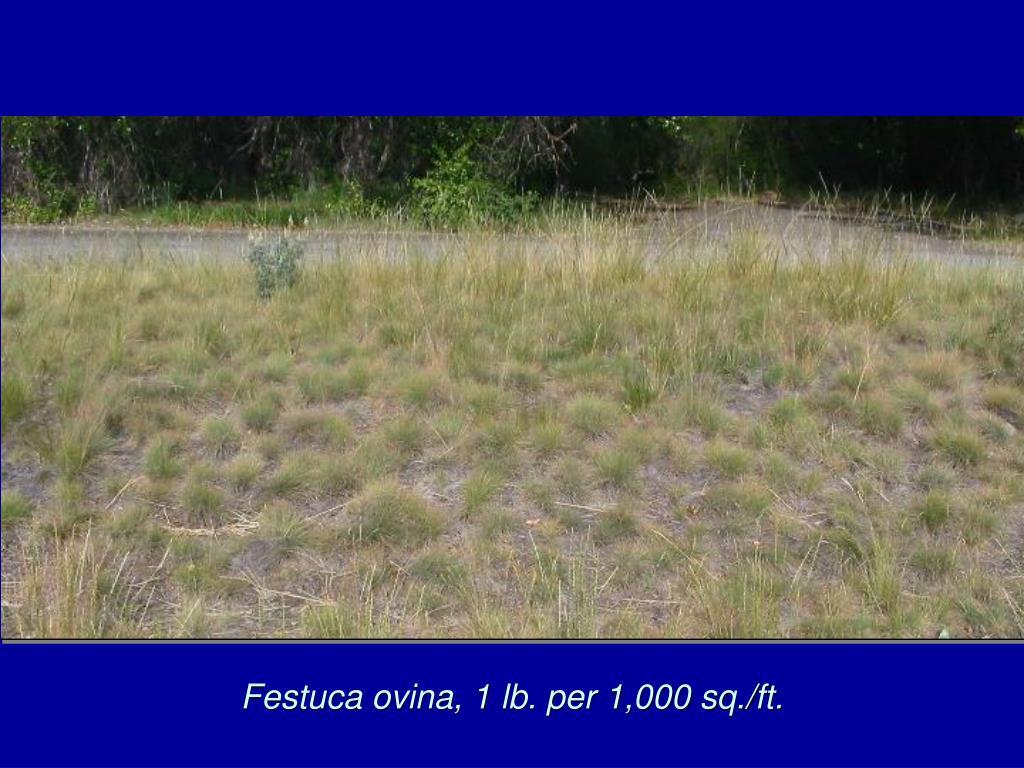 Festuca ovina, 1 lb. per 1,000 sq./ft.