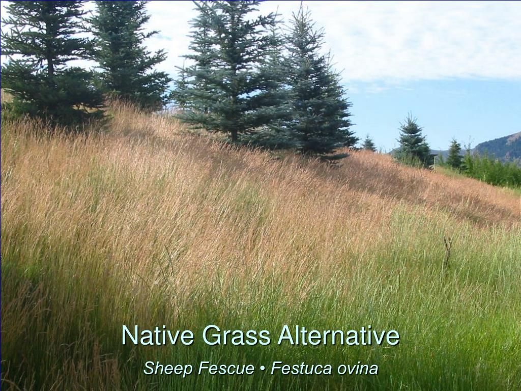 Native Grass Alternative