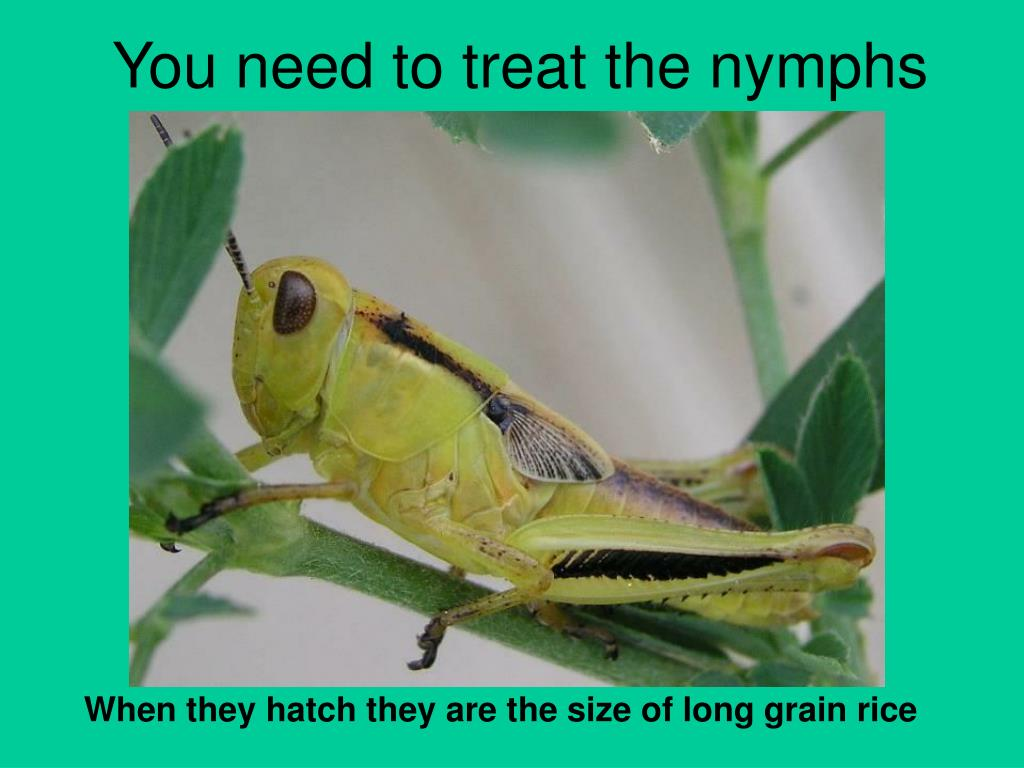 You need to treat the nymphs
