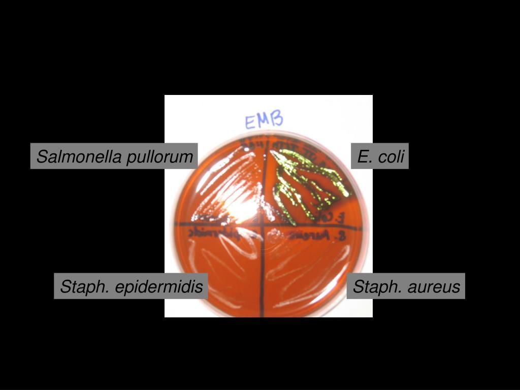 Salmonella pullorum
