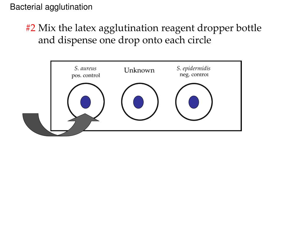 Bacterial agglutination