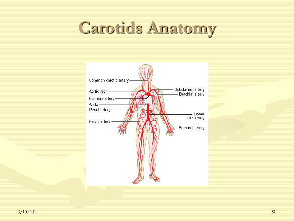 Carotids Anatomy